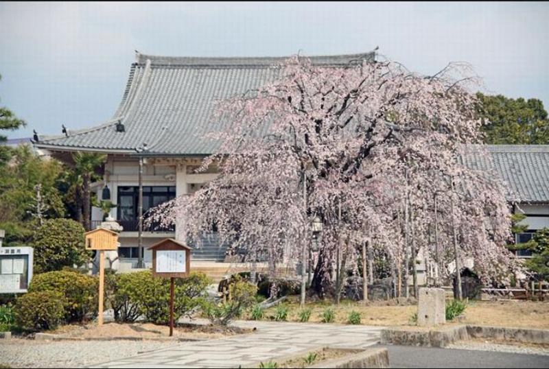 正眼寺のしだれ桜