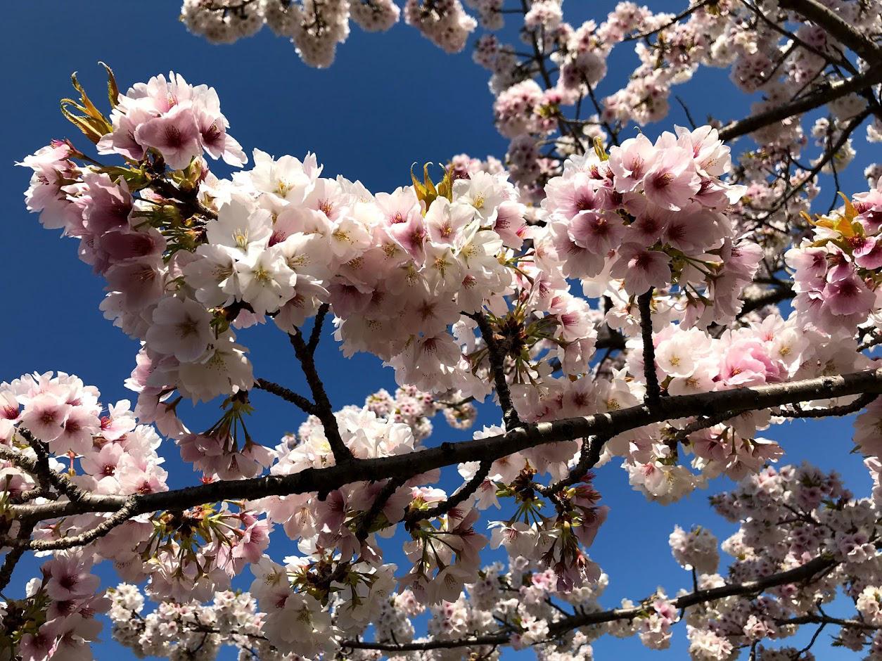 ぎふ清流里山公園の桜がきれい  桜