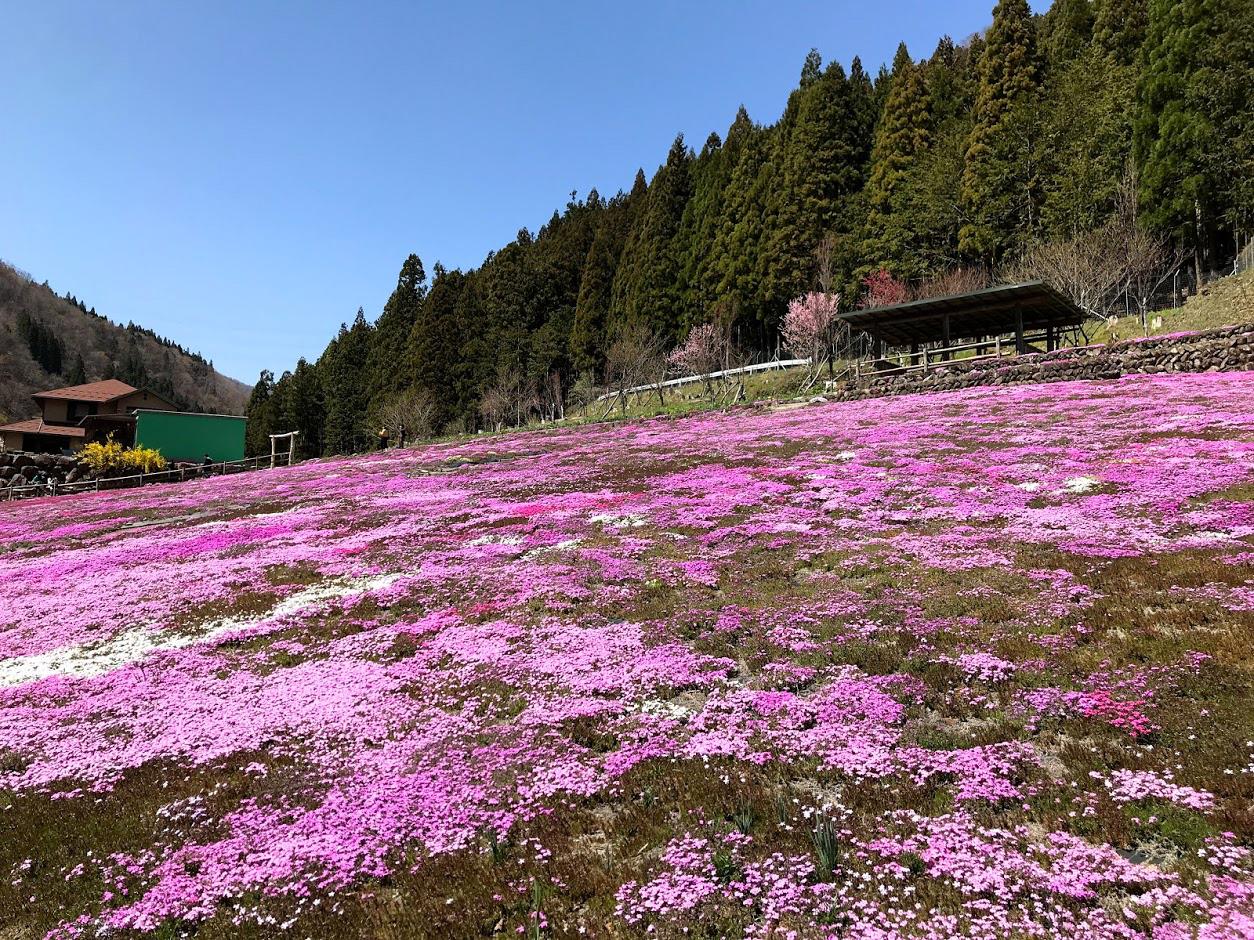 郡上の國田家の芝桜