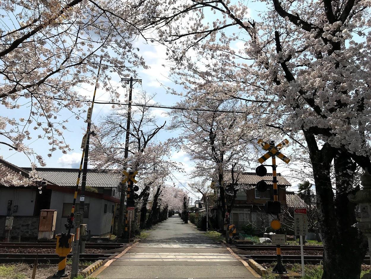 古井神社のさくら