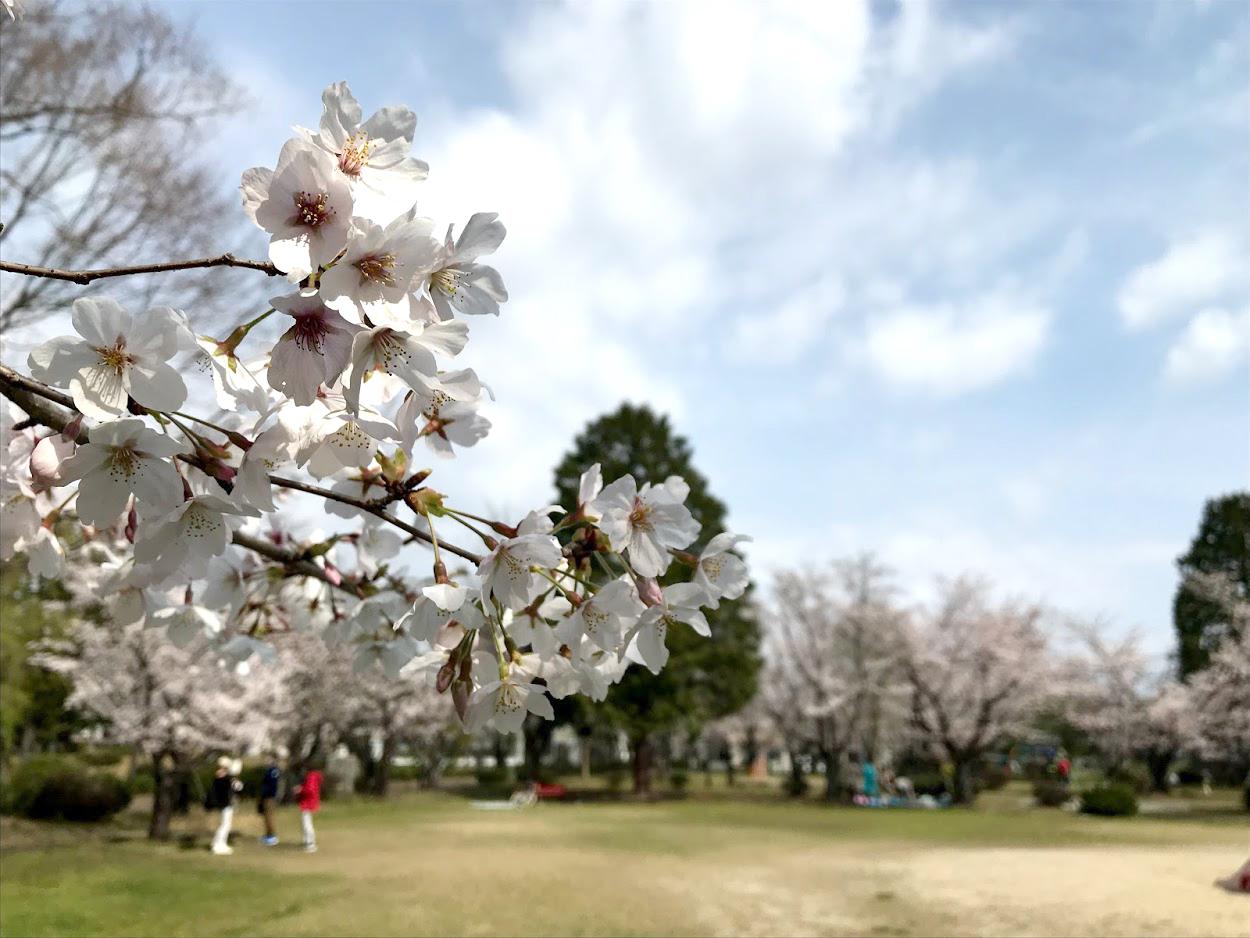 古井神社と近隣公園の桜