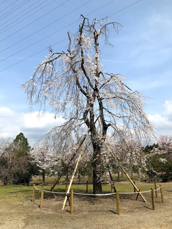 東山森林公園下米田さくらの森の桜