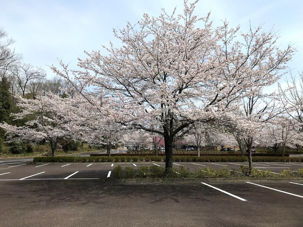 ぎふ清流里山公園駐車場の桜