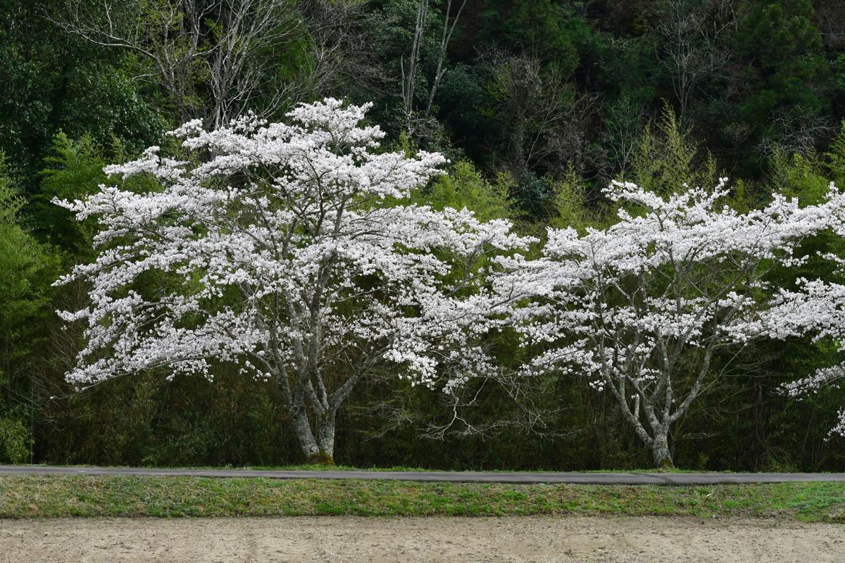 牛牧地区のさくら並木