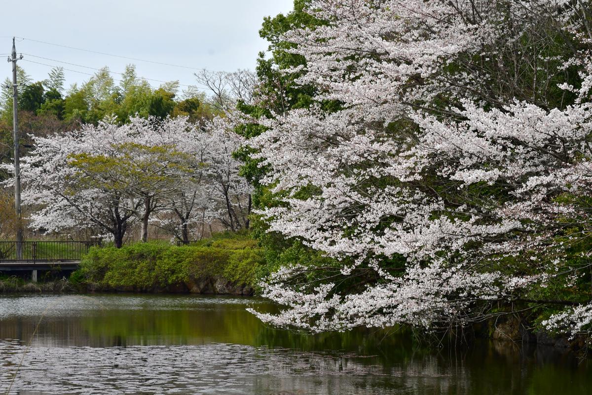 加茂野大池公園の桜