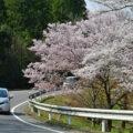 桜開花状況(3/27)美濃加茂市 8分咲きで見頃を迎えています